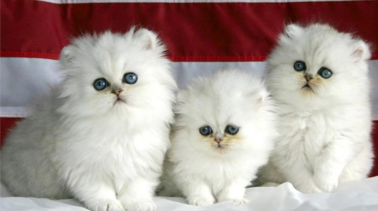 Kitten Pets Are So Adoreable And Lovely